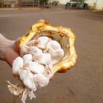 カカオ豆を発酵させる