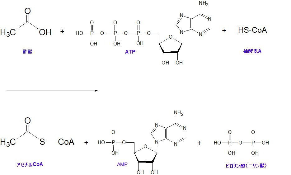 アセチルCoA合成酵素