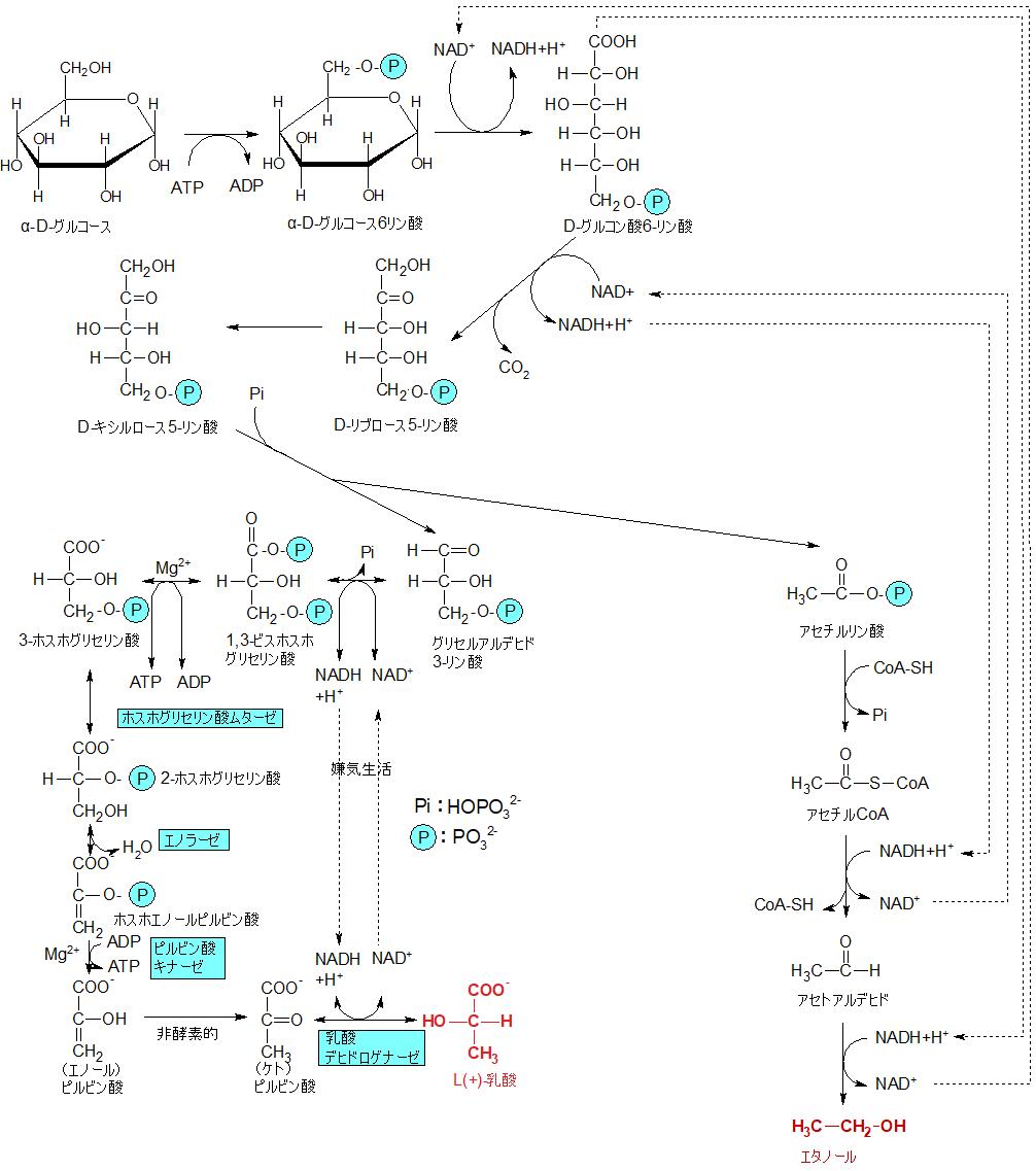 乳酸ヘテロ発酵型