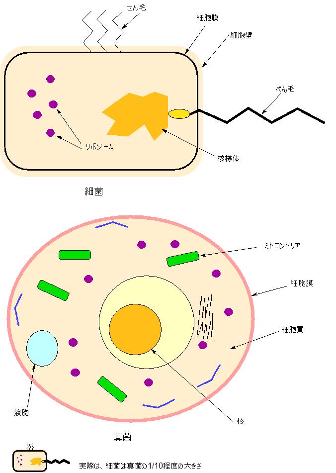 細菌と真菌